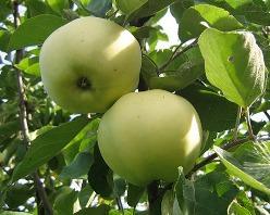Яблоня Папировка (описание)